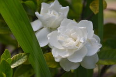 White rose. Friendship flower for you Stock Photography