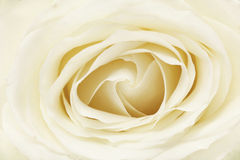 White rose full frame. Close up of flower head Stock Photos