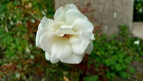 White rose in full bloom Stock Photography