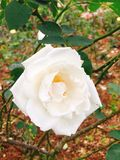 White rose in garden Royalty Free Stock Photo