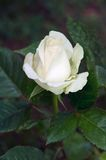 White rose in the garden Royalty Free Stock Photos