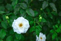 White rose in garden Stock Photos