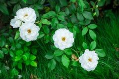 White rose in garden Stock Photography