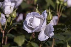 White Rose Garden. Beautiful perfect white rose flower head Royalty Free Stock Photos