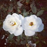 White Rose stock photos