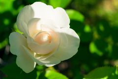 White rose in the garden on the bush. Close-up royalty free stock image