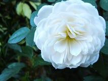 white rose in the garden Royalty Free Stock Photos