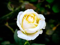 White rose in the garden. Royalty Free Stock Image