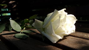 White rose from the garden. Symbol of love and friendship. Warm weather rose has become one of the world's most widespread flowers.  Its distinct scent is Stock Image