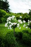 White rose tree in a park royalty free stock image