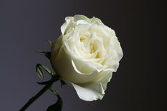 White rose with grey and black background Royalty Free Stock Images