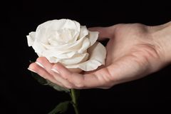 White rose and hand Stock Images