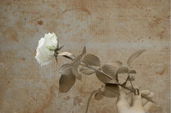 White rose in hand  grunge Stock Photo