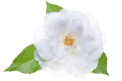 White rose head with leaves isolated Royalty Free Stock Photo
