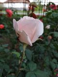Cute white Rose. sad little thing without sun. stock images