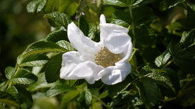 White rose. Stock Photo