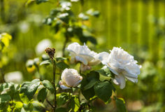 White rose in Hyde Park Royalty Free Stock Image