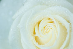 White Rose. I found in the garden. i spray it with water so it looks like more lively Stock Photo