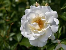 Close up of the white rose `Iceberg` royalty free stock photos