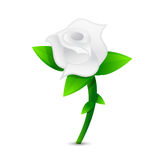 White rose illustration design Royalty Free Stock Image