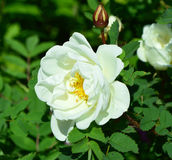 White rose. Stock Images