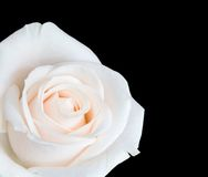 White rose isolated. Against a black background Stock Images