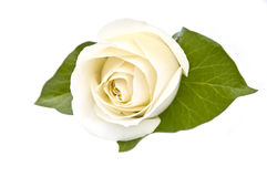 White Rose Isolated Royalty Free Stock Images