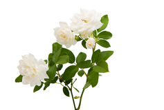 white rose isolated Royalty Free Stock Photography