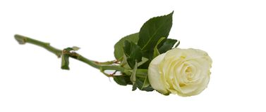 White rose. Isolated on white background. Letterbox look Stock Photos