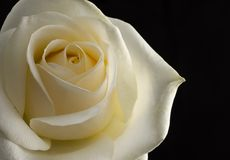 White rose isolated on black background Royalty Free Stock Image