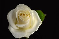 White rose isolated on black background Royalty Free Stock Photography