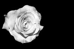 White rose isolated on black Royalty Free Stock Images