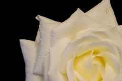 White rose isolated over black, with drops. Beautiful white rose isolated over black, with drops of water Stock Image