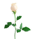 White Rose isolated over white Stock Photography