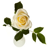 White rose isolated on white Royalty Free Stock Photos