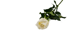 White Rose isolated on white background Stock Images