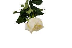 White Rose isolated on white background Royalty Free Stock Photos