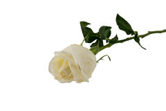 White Rose isolated on white background Stock Photos