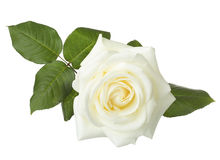 White rose isolated on white. Royalty Free Stock Photos