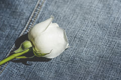 White Rose on Jeans Stock Image