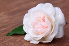 White rose with leaf Stock Photos