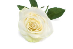 Single white rose with leaves. White rose with leaves and stem on white background Royalty Free Stock Image