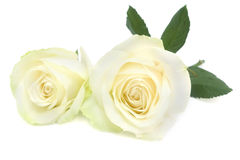 White rose with leaves and stem. Royalty Free Stock Photos