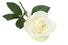 Single white rose with leaves. White rose with leaves and stem on white background Royalty Free Stock Photos
