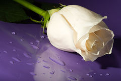 White rose on lilac Stock Images