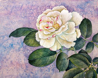 White rose on lilac background... Royalty Free Stock Images