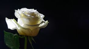 White rose lit by the sun on a black background