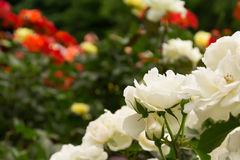 White rose of a lot of roses blooming garden Stock Photos