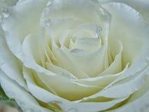 White rose. Macro royalty free stock photography
