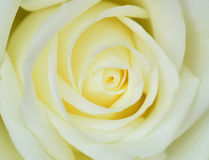 White rose. Macro image of white rose Stock Images
